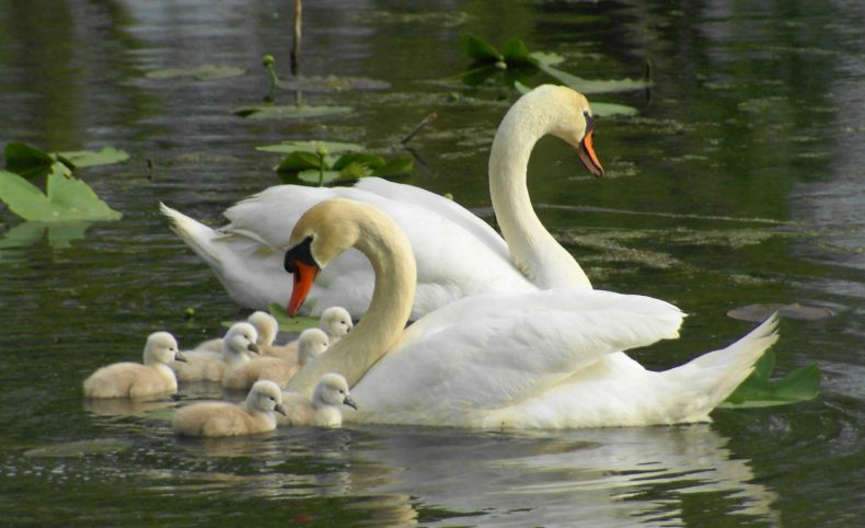 Boot Lake Swan Family